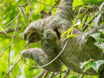 """As you probably know, sloths move slowly. They also stay up in the treetops, except for once a week, when they come down to """"use the facilities"""". This makes them hard to see and harder to photograph, but with the help of a skilled nature guide, we tracked down 4 three-toed sloths in Manuel Antonio NP, the most-visited national park in Costa Rica."""