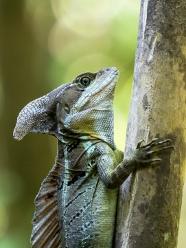 The Common Basilisk is known as the Jesus Christ lizard for its not-so-common ability to run on water in pursuit of its prey