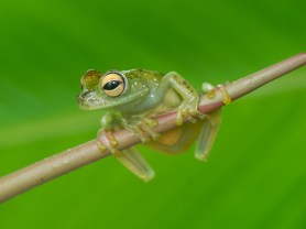 Red-webbed tree frog - Frog's Heaven