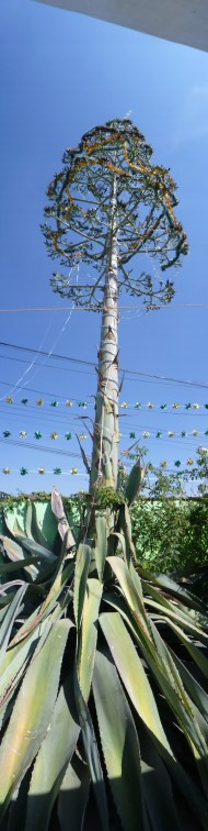 A really tall tequila tree, Agave.