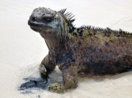 Closeup iguana...