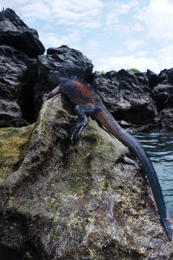 sea iguana...