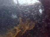 "More tiny fishes inside shipwrecks! ""Olympia Maru"""