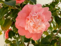 MY RED CAMELLIA