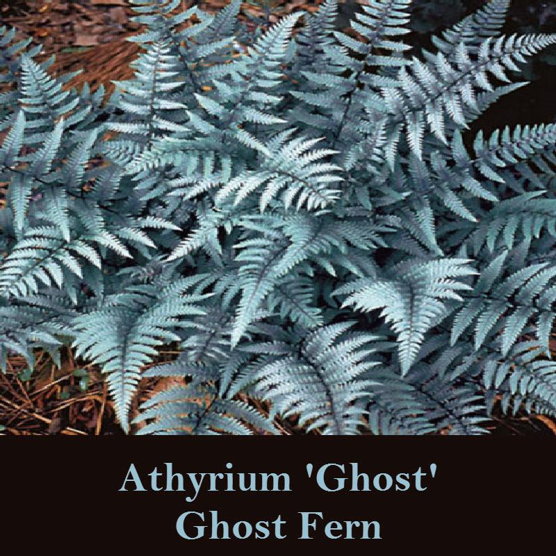 Zen-Garden-Ghost-Fern