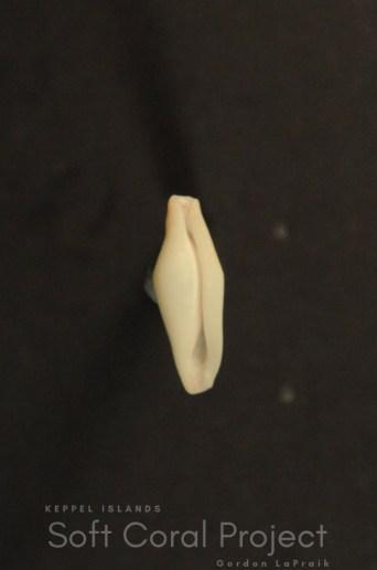 Crenavolva (Crenavolva) striatula tinctura (ventral)