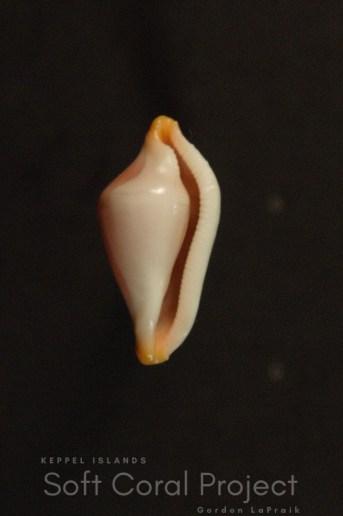 Crenavolva (Crenavolva) rosewateri (ventral)