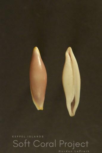 Cymbula deflexa