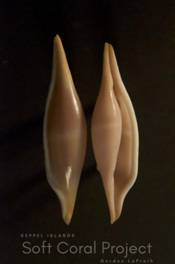 Phenacovolva (Calcaria) tokioi