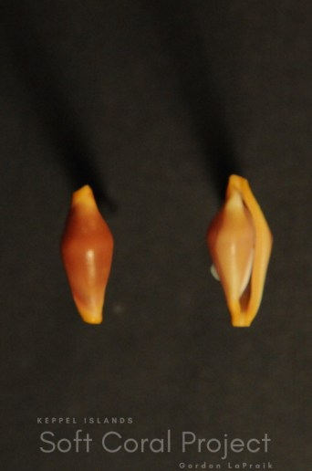 Crenavolva (Crenavolva) striatula hespecieseria