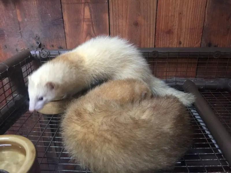 kl-tower-mini-zoo-ferret
