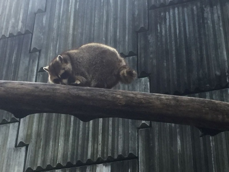 kl-tower-mini-zoo-raccoon-3