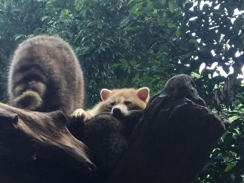 kl-tower-mini-zoo-raccoon