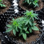 indoor potted cannabis growth in soil pot-sohum living soils