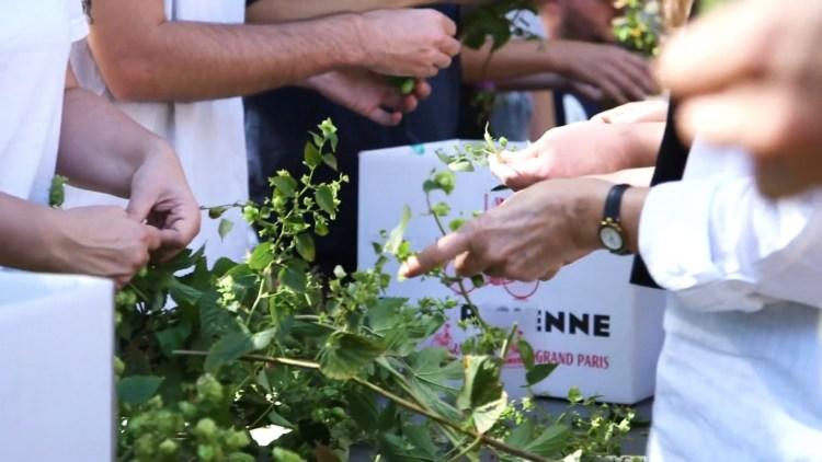 la cueillette participative du Houblon cultivé dans les arrondissement parisiens pour la bière Intramuros.