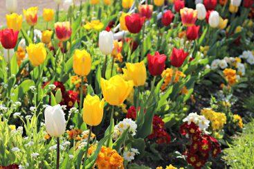 Les tulipes des Sables