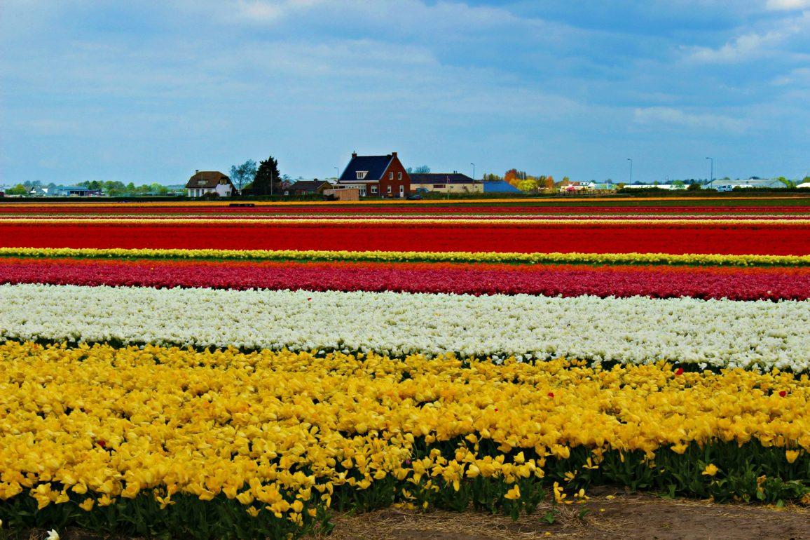 Champs de tulipes aux Pays-Bas