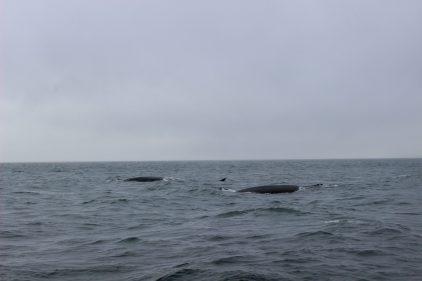 Baleines à Tadoussac