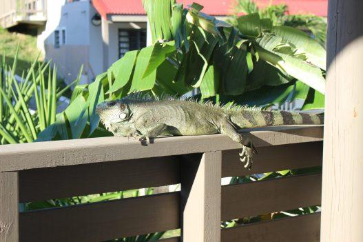 Notre ami l'iguane qui était avec nous toute la semaine sur la terrasse!