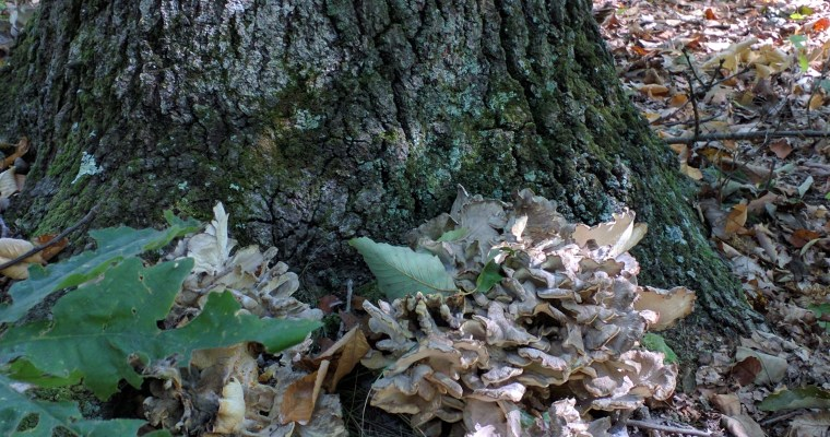 My History with Hen of the Woods: How the Maitake First Bested Me