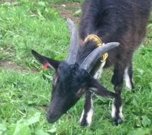 Shiatsu pour animaux: la chèvre…