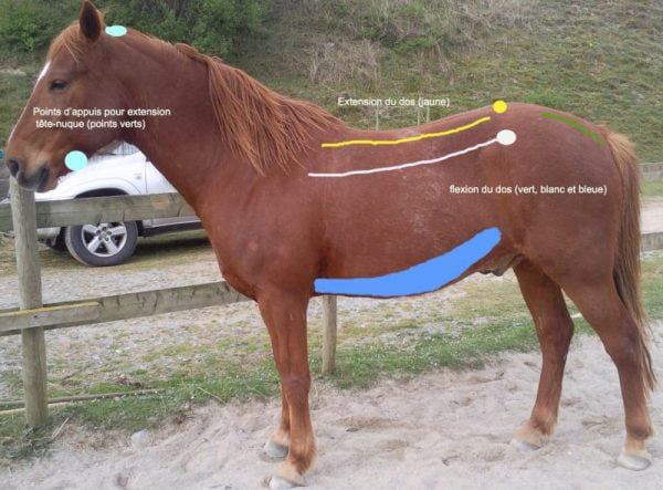 Masser et étirer le cheval pour soulager les tensions musculaires