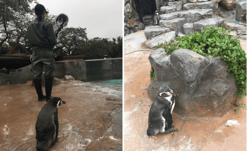 Grape-kun gets his heart broken as zookeepers take away his Kemono Friends waifu