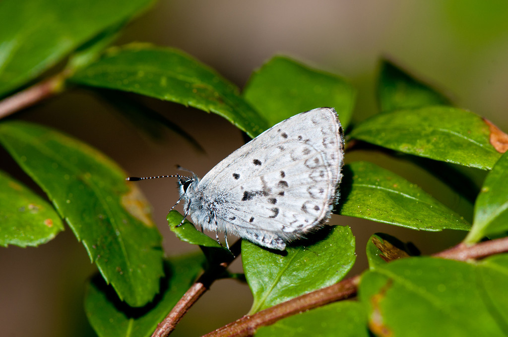 Northern Azure or Lucia Azure (Celastrina lucia lumarco)