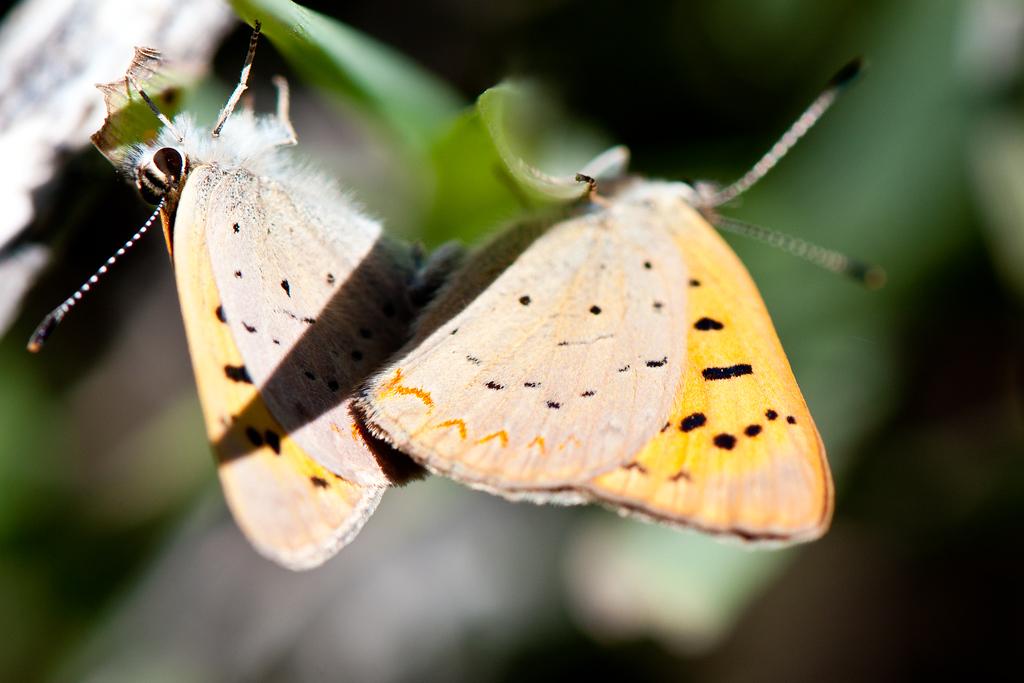 Purplish Copper (Lycaena helloides)