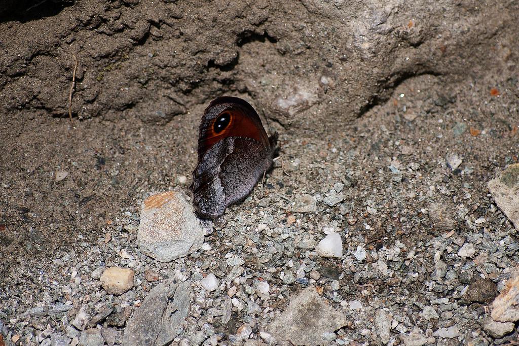 Szechuan Argus (Loxerebia sylvicola)