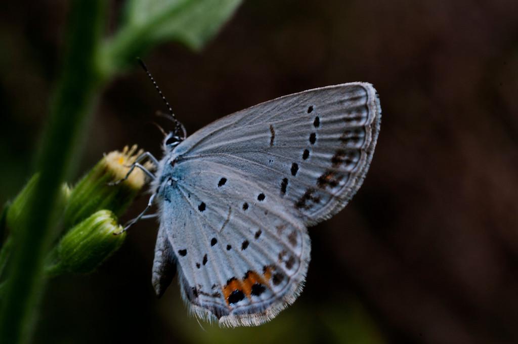 Short-Tailed Blue (Cupido argiades)