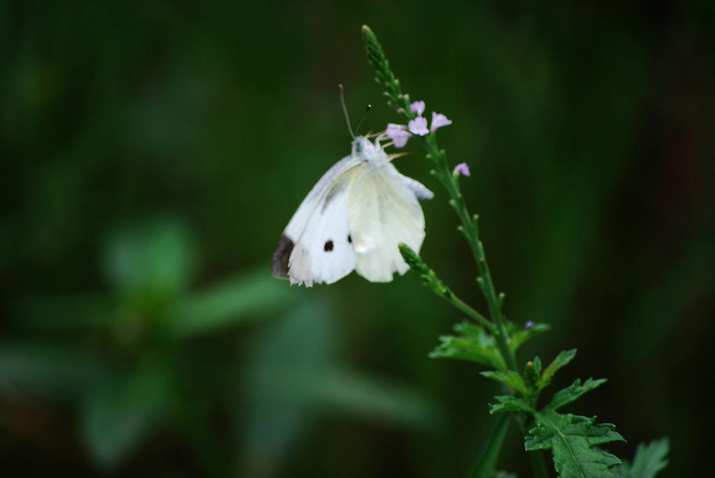 Small Cabbage White (Pieris rapae)