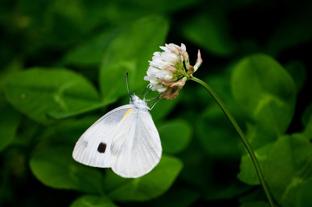 Indian Cabbage White (Pieris canidia indica)