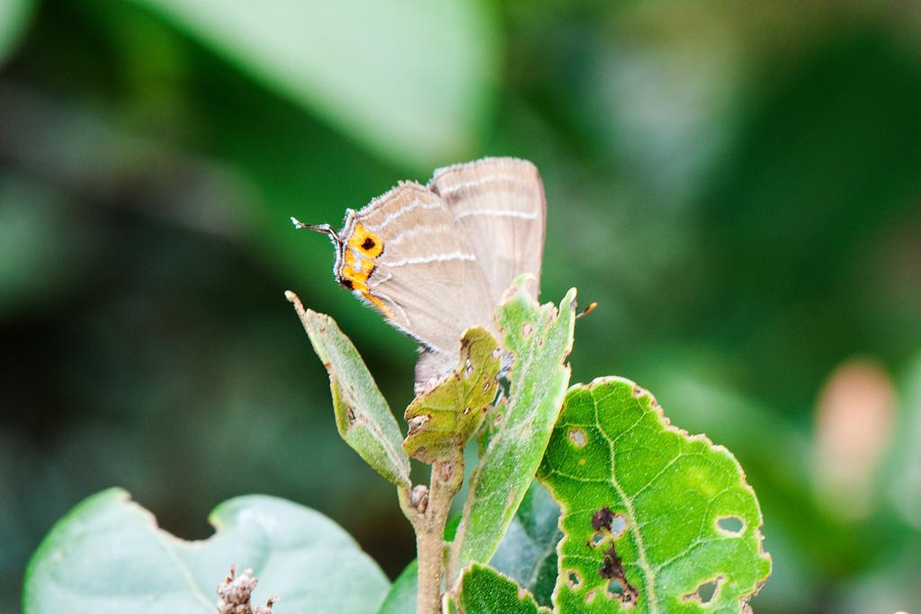 Favonius cognatus