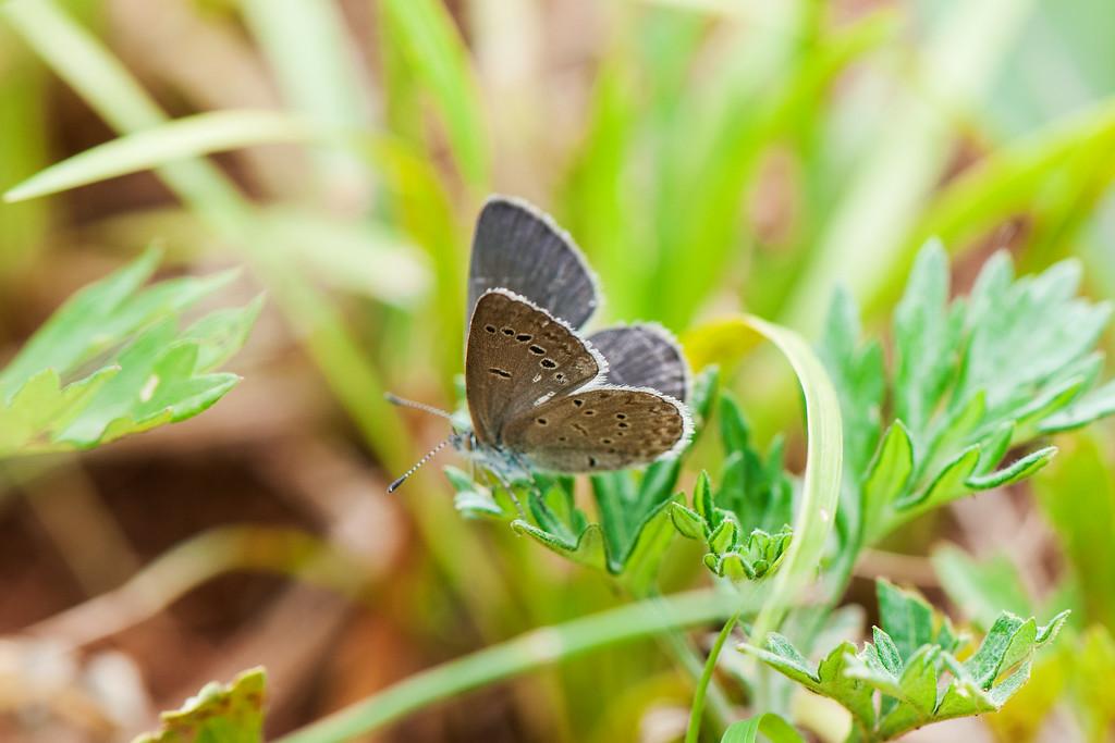 Emelina Grass Blue (Zizina emelina emelina)