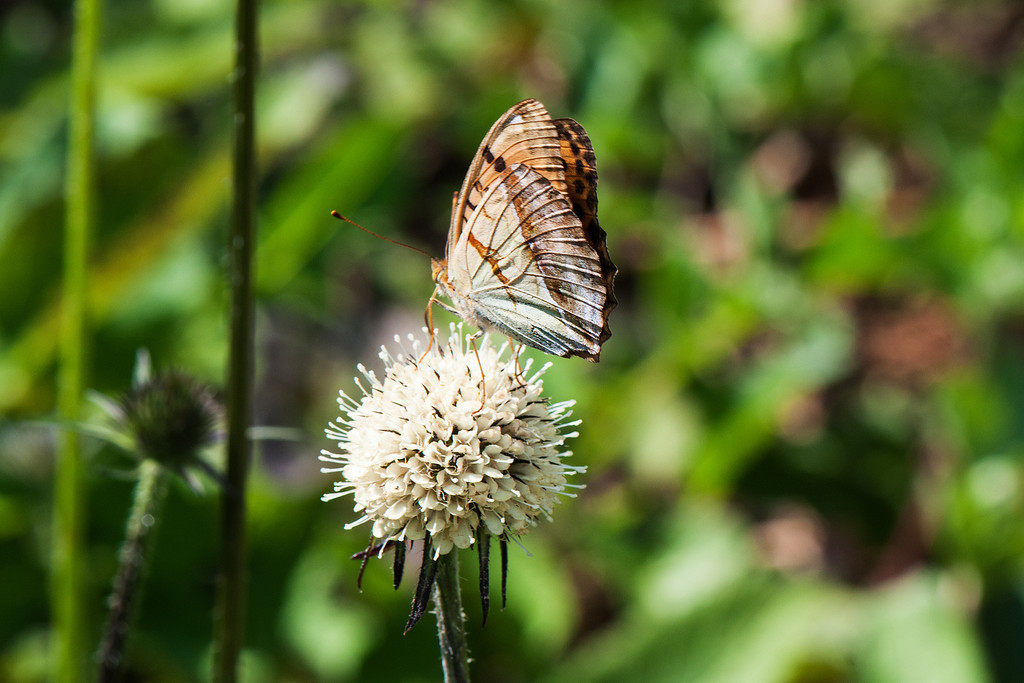 Pallas Fritillary (Argyronome laodice)