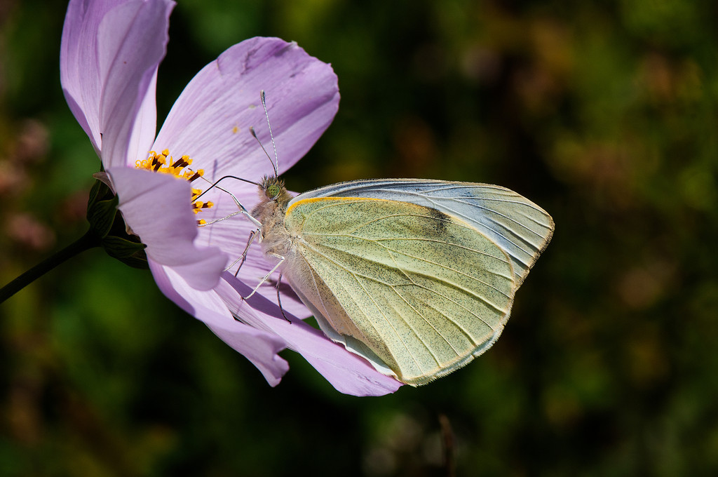 Large Cabbage White (Pieris brassicae nepalensis)