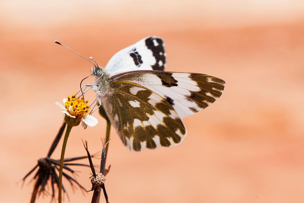 Bath White (Pontia daplidice moorei)
