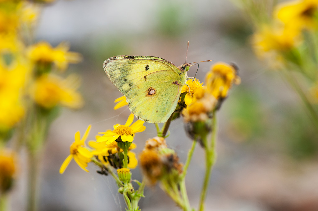 Easternmale Pale Clouded Yellow  (Colias erate)