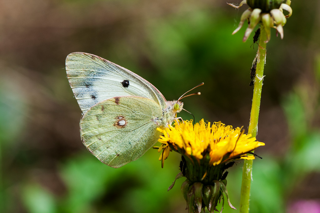 Eastern Pale Clouded Yellow  (Colias erate) female