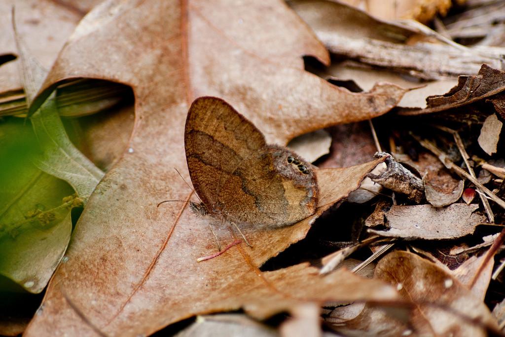 Gemmed Satyr (Cyllopsis gemma gemma)
