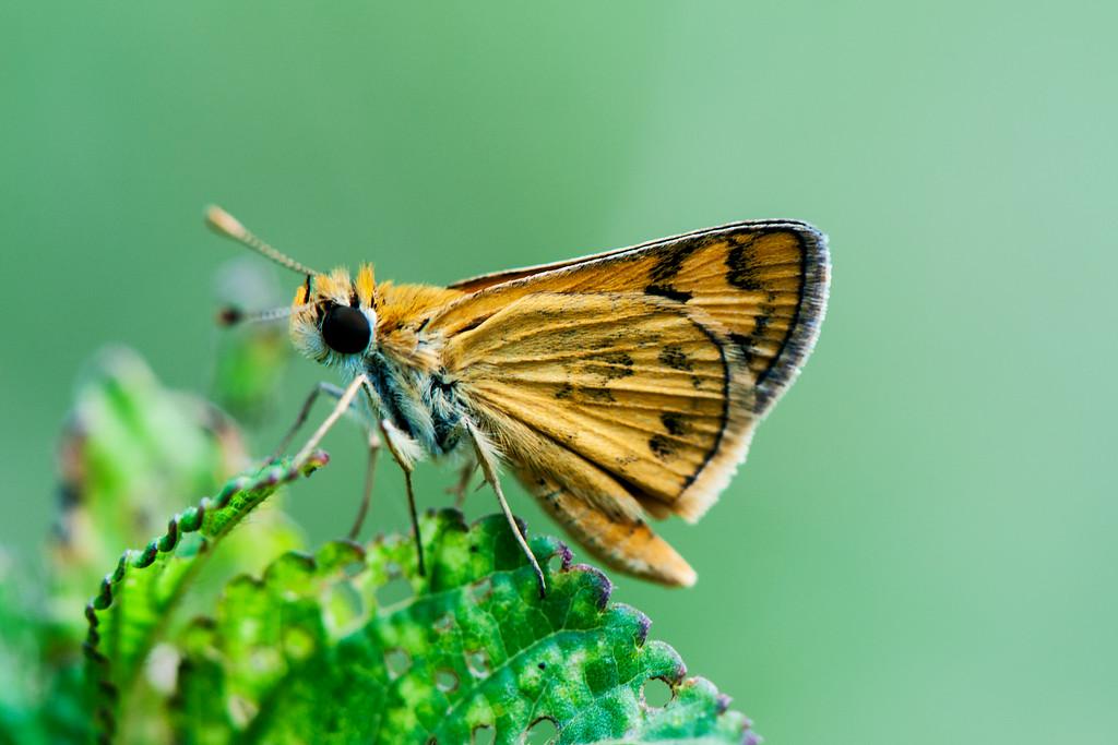 Bush Hopper (Ampittia dioscorides)