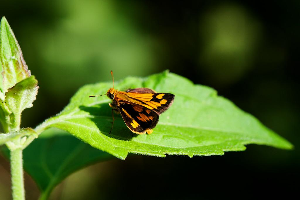 Common Dartlet (Oriens gola) 2
