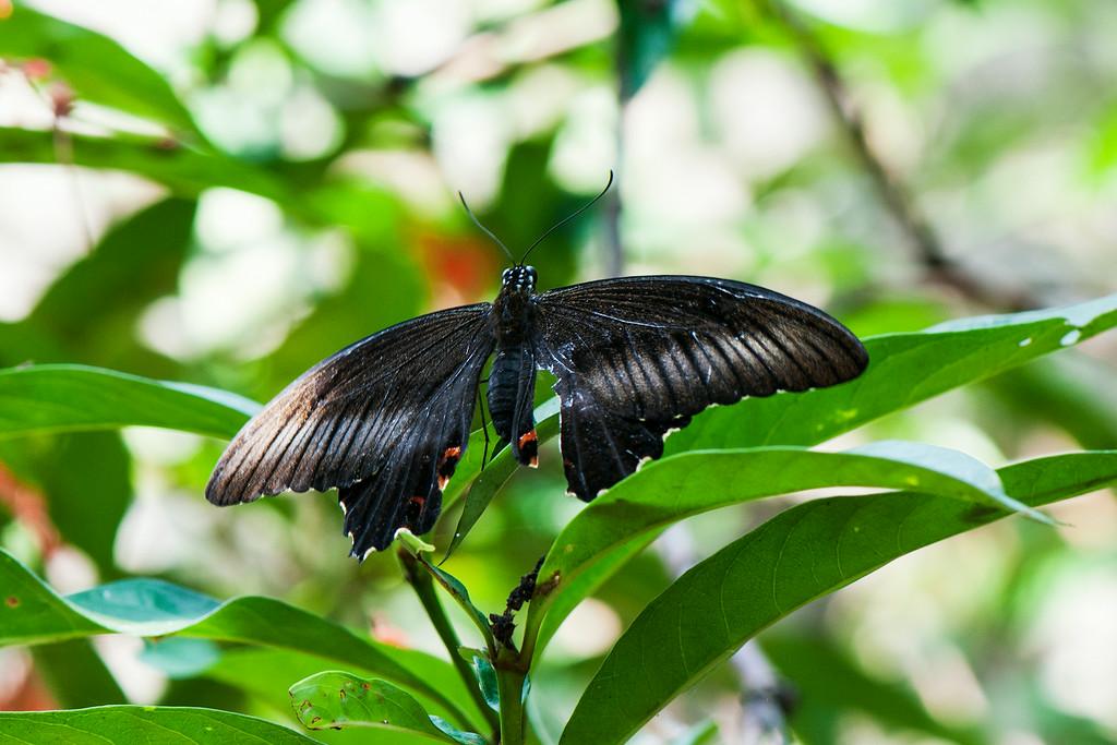 Red Helen (Papilio helena enganius)