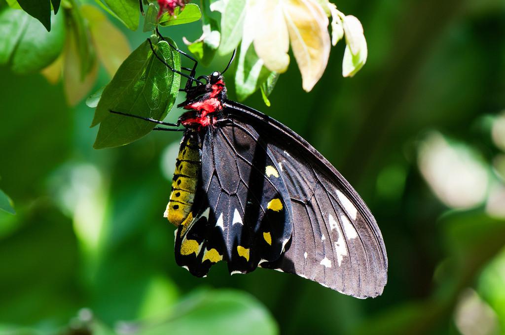 Common Green Birdwing (Ornithoptera priamus) female