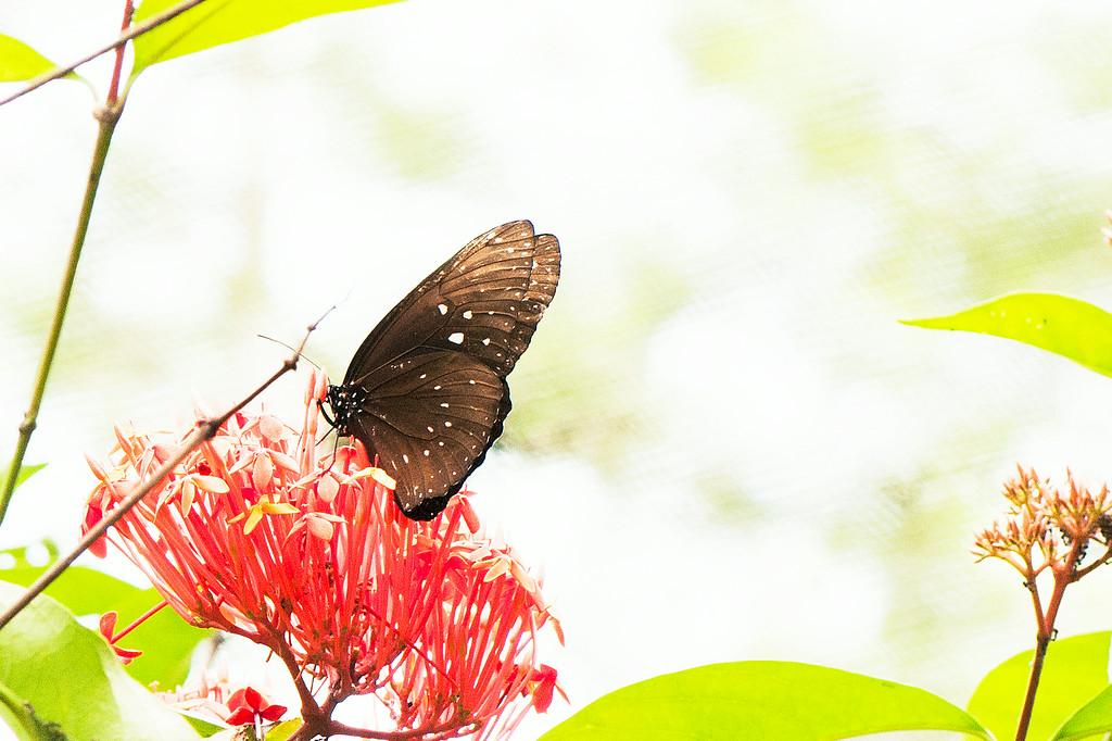 Malayan Crow (Euploea camaralzeman hypanis)