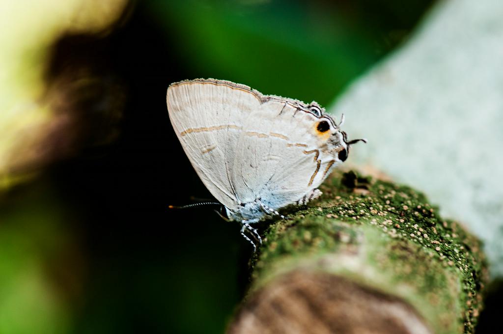 Common Tit (Hypolycaena erylus erylus)