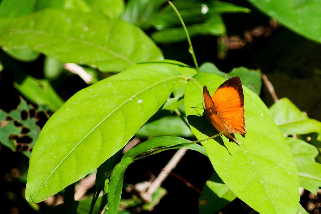 Yamfly (Loxura atymnus continentalis)