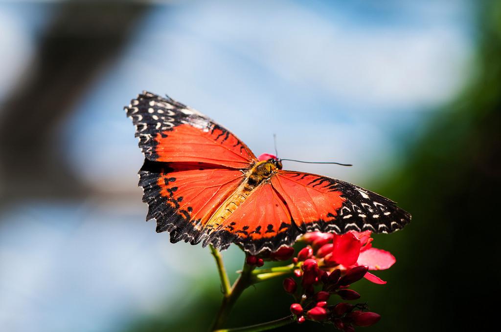 Red Lacewing (Cethosia biblis tisamena)