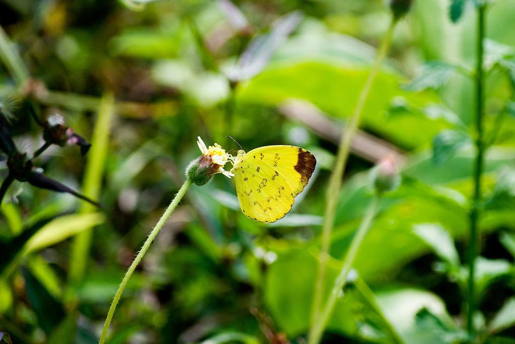 Hill Grass Yellow (Eurema simulatrix sarinoides)